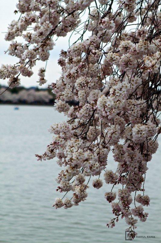 Cherry Blossoms in Washington DC